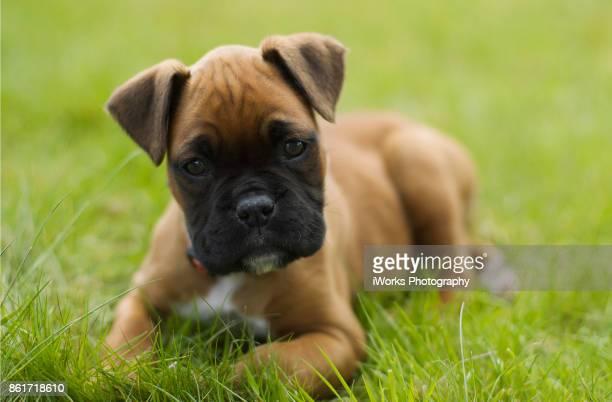 Boxer Puppy