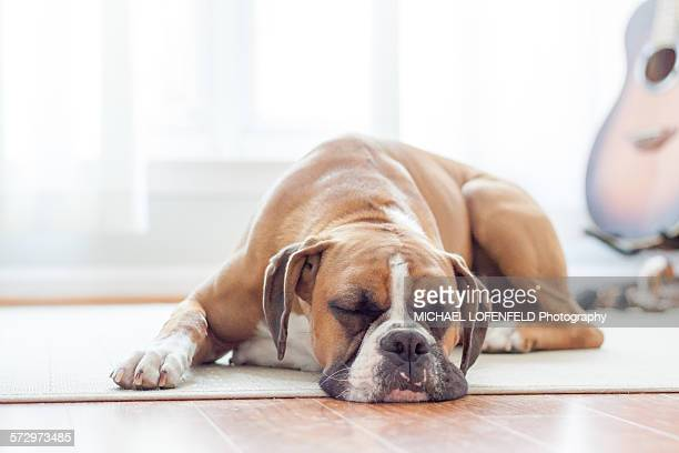 boxer puppy sleeping on the floor - boxer dog stock pictures, royalty-free photos & images