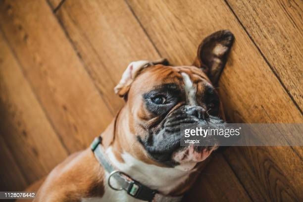 boxer relaxing - boxer dog stock pictures, royalty-free photos & images