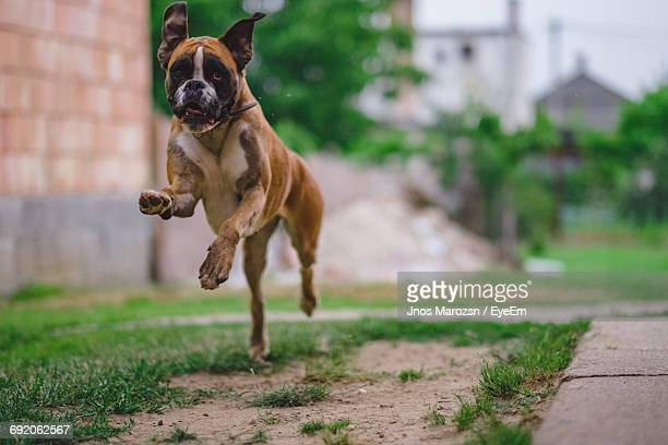 Boxer Running On Field In Yard