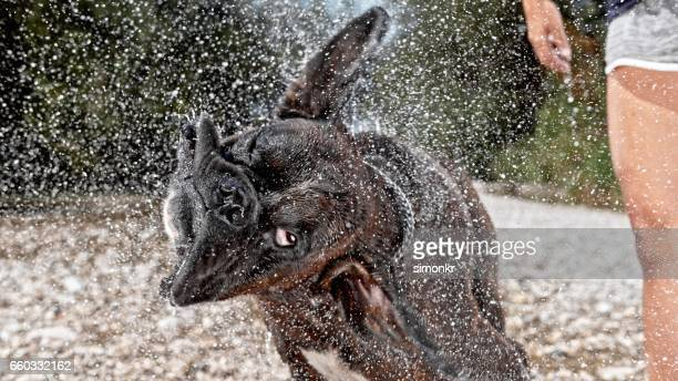 boxer shaking head - slow motion stock pictures, royalty-free photos & images