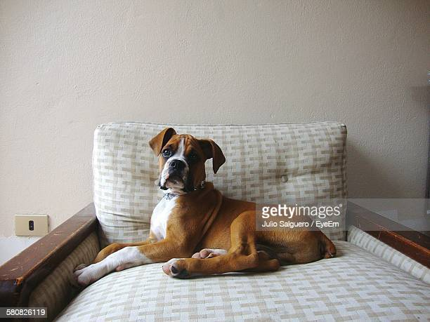 boxer sitting on sofa at home - boxer dog stock pictures, royalty-free photos & images