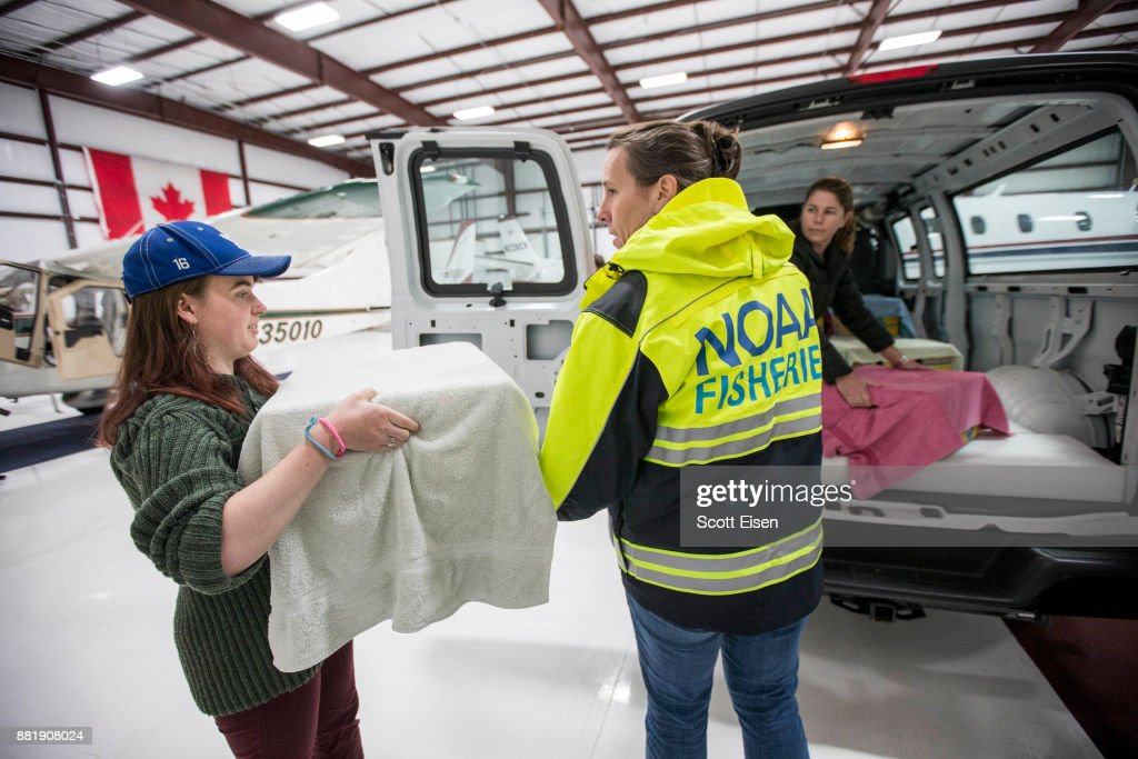 Researchers ready more than two dozen rescued Kemp's ridley sea turtles for their flight from Marshfield, Massachusetts, to an animal rehabilitation center in North Carolina, November 29, 2017.
