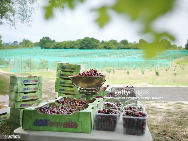 Boxes of fresh cherries in orchard