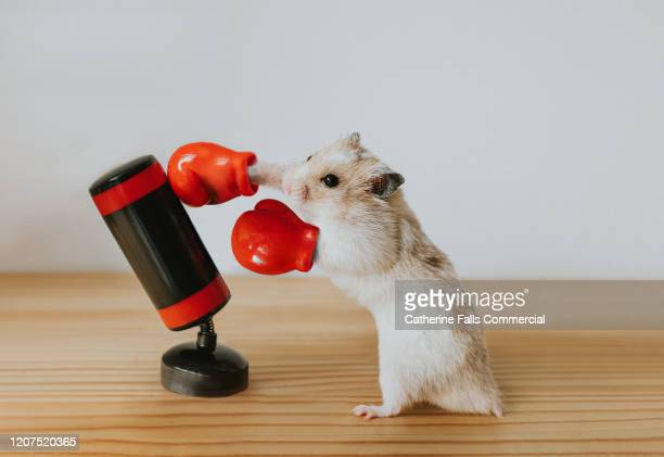 boxing hamster - organised group stock pictures, royalty-free photos & images