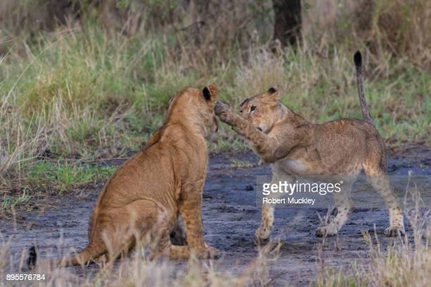 Boxing Lions