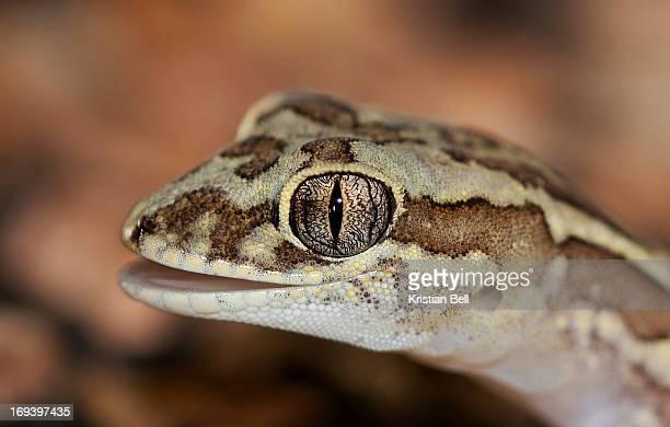 Box-patterned gecko (Lucasium steindachneri)