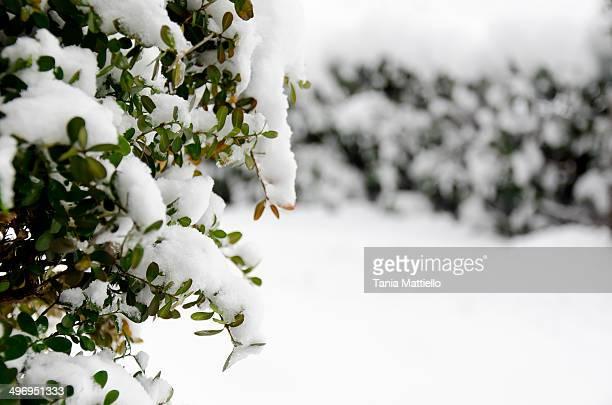 Boxwood with snow