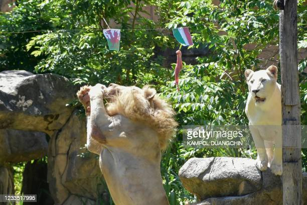 Boy , a five-year-old white lion, grabs a piece of meat hanging under the flag of Wales, instead of the piece under Italy's flag, set up to see the...
