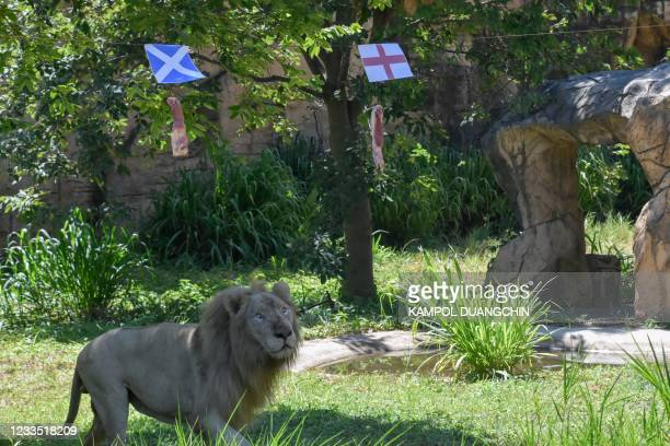 """Boy, a five-year-old white lion, looks at pieces of meat hanging under the flags of Scotland and England, set up to see the big cat """"predict"""" the..."""