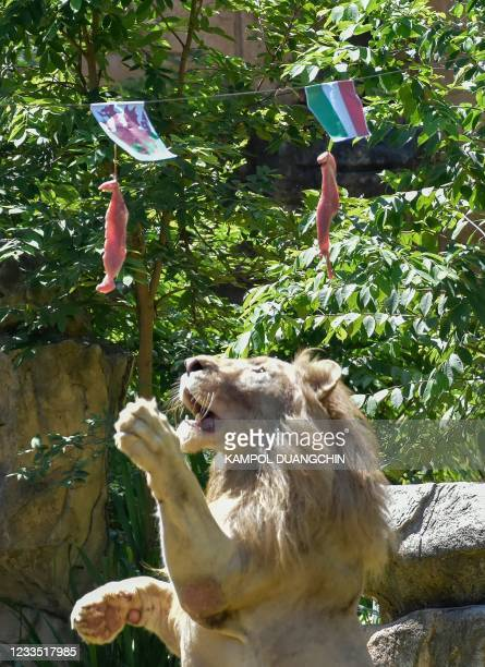 Boy, a five-year-old white lion, lunges at a piece of meat hanging under the flag of Wales, instead of the piece under Italy's flag, set up to see...