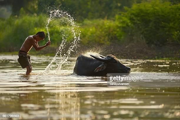 Boy and buffalo in river washing, Thailand