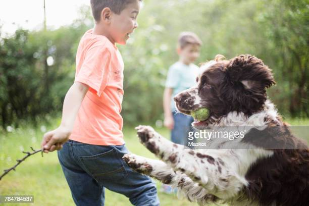 boy and dog playing with brother standing in back yard - english springer spaniel stock pictures, royalty-free photos & images