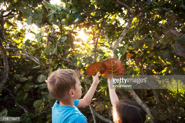 boy and girl holding up seagrape (occoloba uvifera) leaves, blowing rocks preserve, jupiter, florida, usa - jupiter island stock photos and pictures