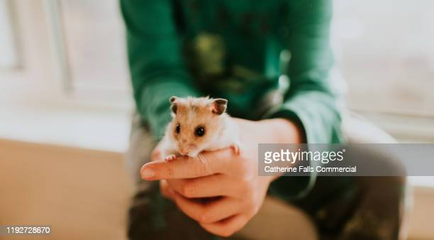boy and hamster - rodent stock pictures, royalty-free photos & images