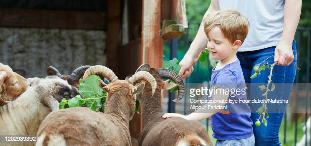 boy and mother feeding goats in urban farm - livestock stock pictures, royalty-free photos & images
