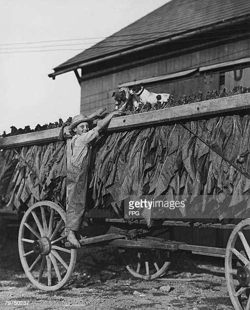 A boy and two dogs on a wagonload of tobacco leaves at a farm in Lancaster County Pennsylvania circa 1935