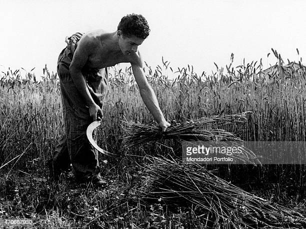 'A boy barechested under the sun engaged in cutting the wheat Italy 1957 '