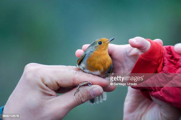 Boy caressing an European Robin