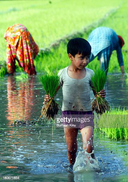 Boy carries saplings during sowing season to sow in a paddy field on June 14, 2010 in Srinagar, the summer capital of Indian Kashmir, India.