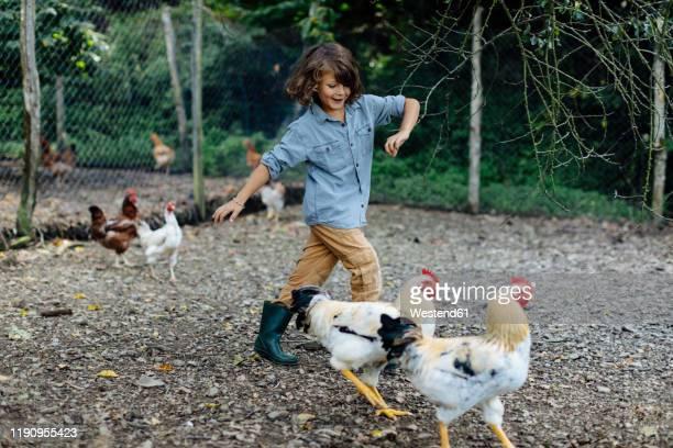 boy chasing chickens on an organic farm - agrarbetrieb stock-fotos und bilder