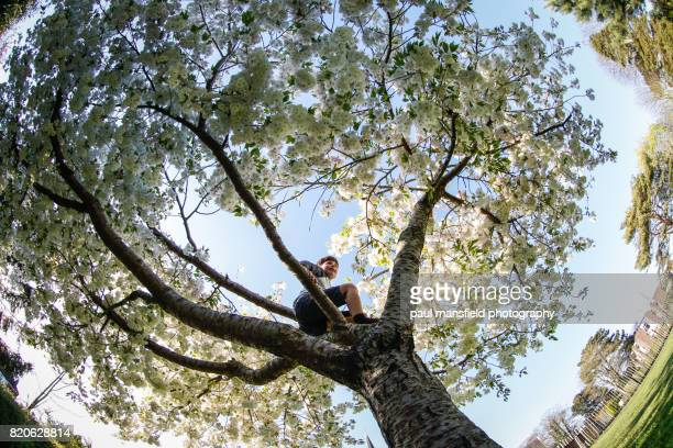 boy climbing blossom tree - apple blossom tree stock pictures, royalty-free photos & images
