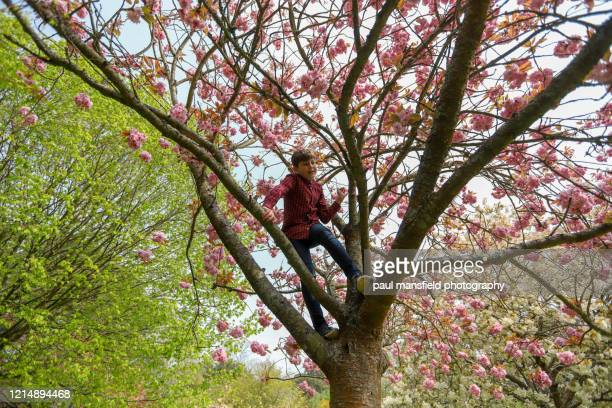 boy climbing tree - blossom stock pictures, royalty-free photos & images