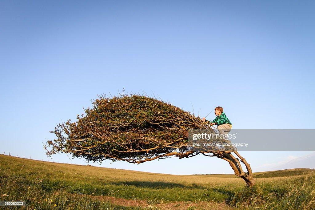 Boy climbing windswept tree : Stock Photo