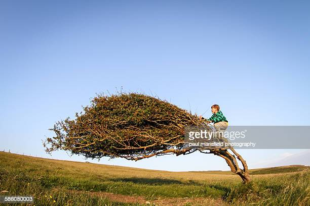 Boy climbing windswept tree