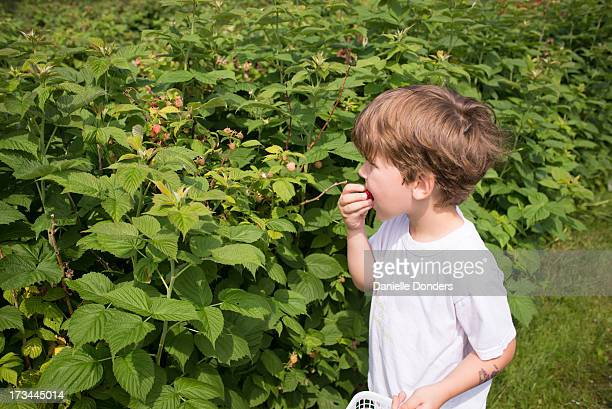 Boy eating a raspberry he just picked