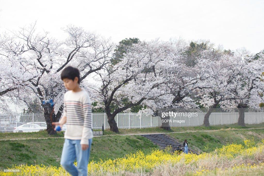 A boy enjoys cherry blossoms at the riverside in Toyokawa. : News Photo