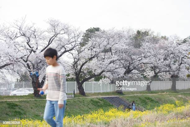 LEVEE TOYOKAWA AICHI JAPAN A boy enjoys cherry blossoms at the riverside in Toyokawa The Cherry blossom also known as Sakura in Japan normally peaks...