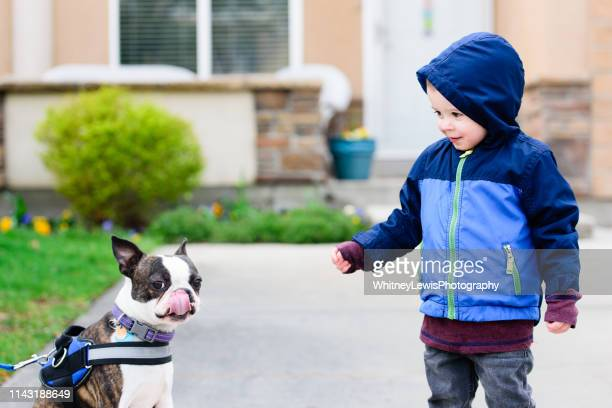 boy excited or scared to meet a puppy - boston terrier stock pictures, royalty-free photos & images