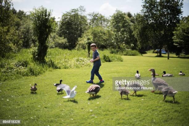 boy feeding birds - water bird stock photos and pictures