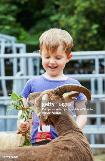 boy feeding goat in urban farm - compassionate eye foundation stock pictures, royalty-free photos & images