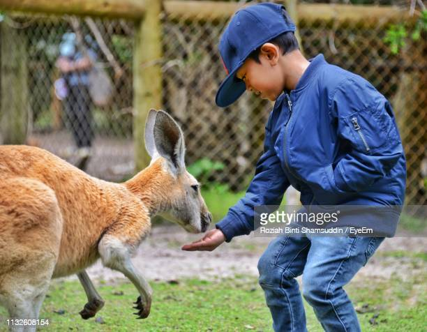 boy feeding kangaroo while standing at zoo - zoo stock pictures, royalty-free photos & images