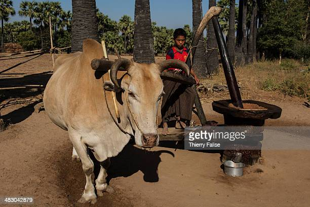 A boy guides a zebu activating a peanuts crushing device which produces oil