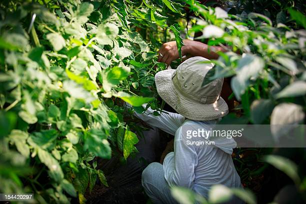 a boy harvesting a tomato - sungjin kim stock pictures, royalty-free photos & images
