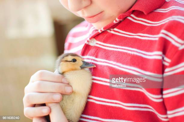 boy holding a duckling - duck bird stock photos and pictures