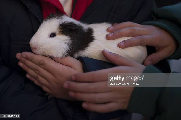 A boy holds a Guinea pig before having it blessed by a priest in Churriana near Malaga on January 17 marking San Anton Abad's Day Dogs cats rabbits...