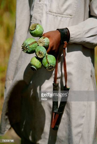 A boy holds ripe opium poppy seedpods the scarifications from which opium sap is harvested clearly visible on April in Lakaro within the Pashtun...
