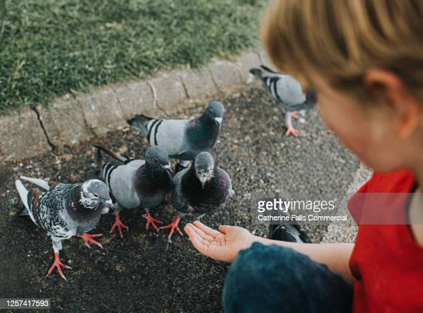 boy in a park, hand-feeding tame pigeons - animal limb stock pictures, royalty-free photos & images