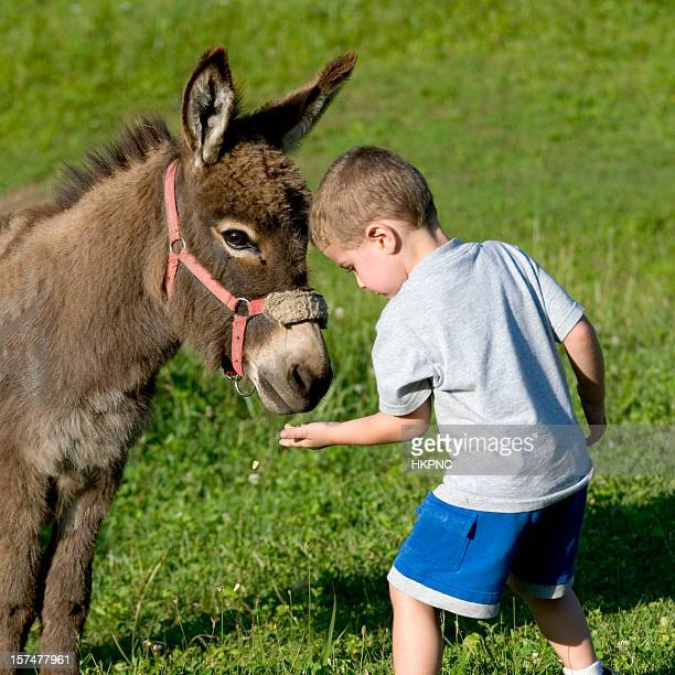Boy In Field Feeding Corn To A Miniature Burro