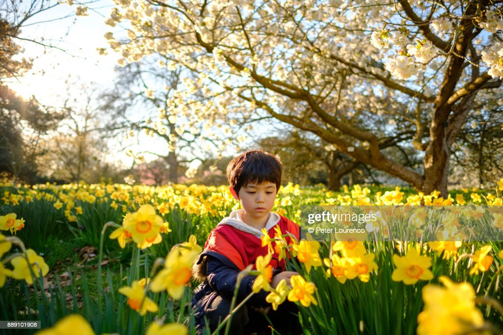 Boy in field of daffodils : Stock Photo