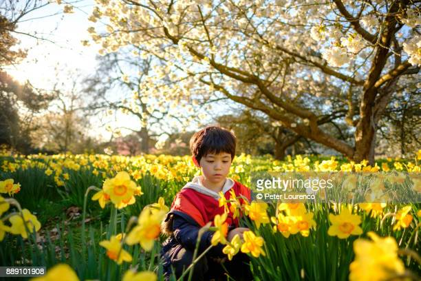 Boy in field of daffodils