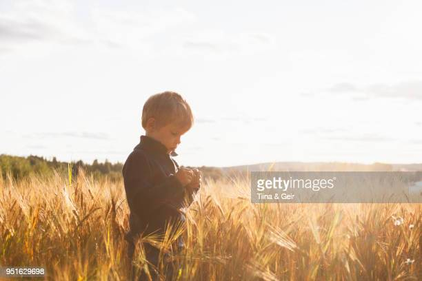 boy in wheat field examining wheat, lohja, finland - innocence stock pictures, royalty-free photos & images