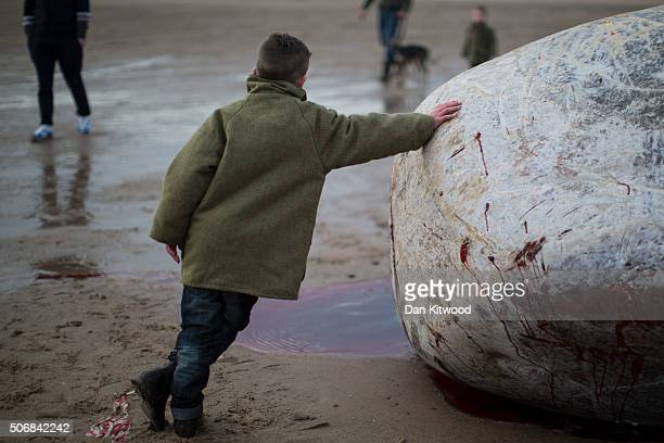 A boy leans on one of the five Sperm Whales that were found washed ashore on beaches near Skegness over the weekend on January 25 2016 in Skegness...