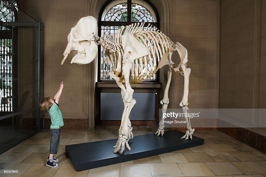 Boy looking at an elephant skeleton : Stock Photo