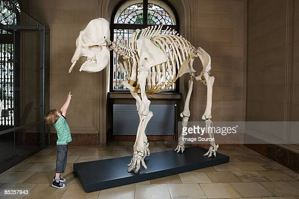 boy looking at an elephant skeleton - animal skeleton stock photos and pictures