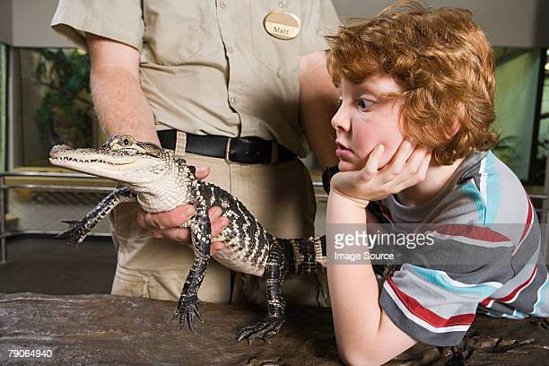 boy looking at baby alligator - zoo keeper stock pictures, royalty-free photos & images
